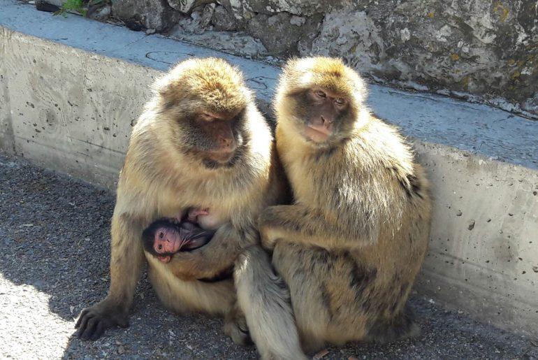 Ape rock Gibraltar