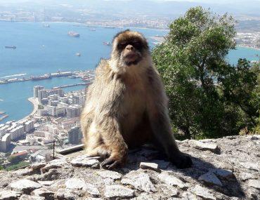 apen in gibraltar